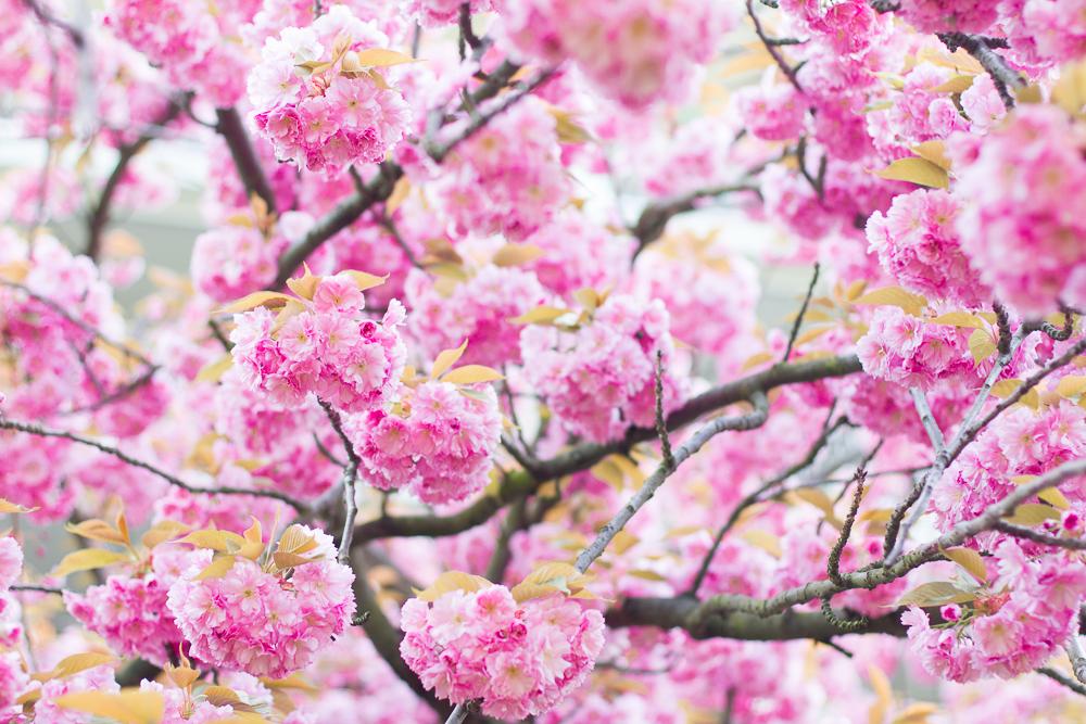 cherry blossoms-7101