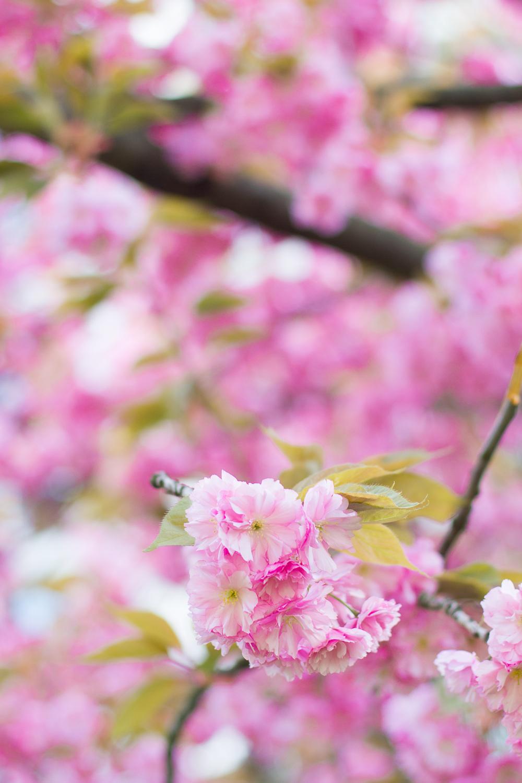cherry blossoms-7103