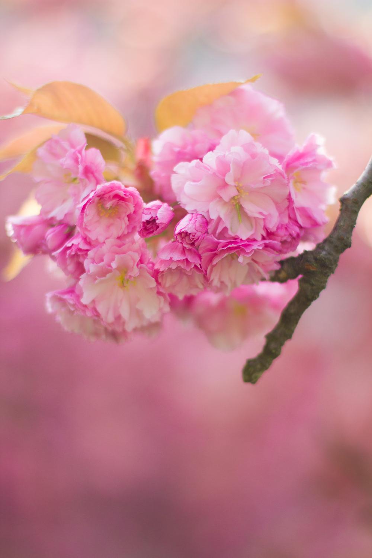 cherry blossoms-7134